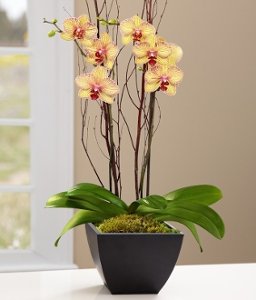 """Beautiful Blooming"" Orchid Plant - Deluxe"