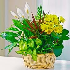 Blooming Indoor Dish Garden - Medium