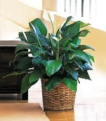 Premium Peace Lily in Decorative Basket - Large